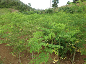 growing-moringa